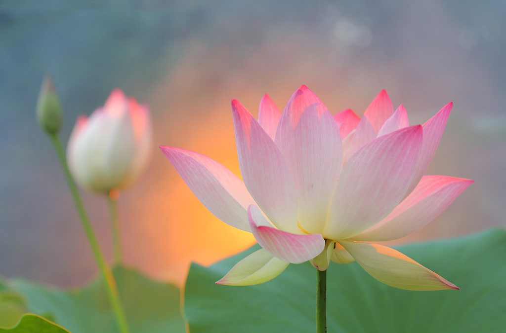 And the Heart Lotus Blossoms Forth